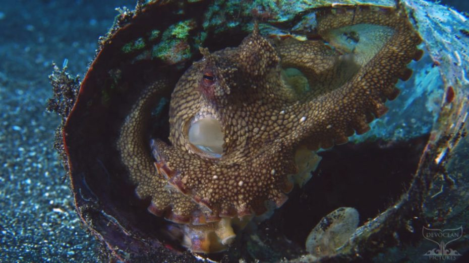 "Coconut Octopus (Amphioctopus marginatus) , also known as the ""coconut octopus"" and ""veined octopus"", is a medium-sized cephalopod belonging to the genus Amphioctopus."