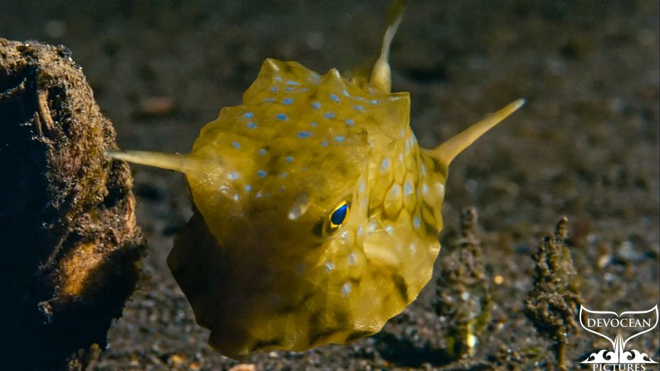 "Screenshot of ""Take a Minute to Relax"": Longhorn Cowfish (Lactoria cornuta). This curious-looking creature has 2 spine-like horns growing from the front of its head, and 2 more from the back of its body. It is yellowish green with a network of darker greenish lines and blue dots in between. Big blue pupils with a golden ring around and its hovering over the sand in the bay od A,ed, Bali, Indonesia, on a night dive."