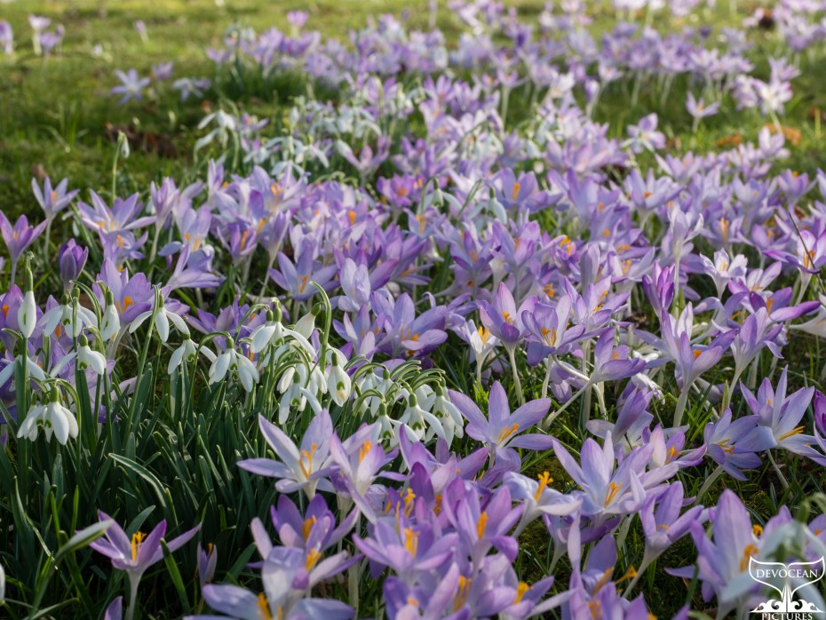 Field of crocus and snowdrops on green grass. Spring 2021.