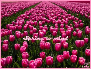 Spring to action: Vom Bild zur Karte mit Affirmation Nordholland April 2021: Foto eines Tulpenfelds in Nord-Holland im April 2021. Die pinken Blütenköpfe recken sich vom Vordergrund bis zum Hintergrund und billden ein geometrisches Muster: Spring to mind sagt Devocean Pictures. Field of pink tulips in Noth-Holland in April 2021 strechting throughout the whole frame. Post or greeting card with warm regards.