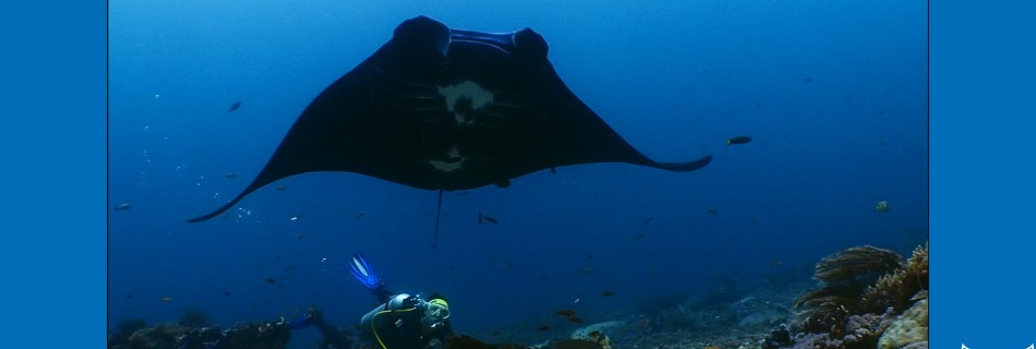 Screenshot of one of the clips Yoeri filmed with mantas 2015-2016 in Komodo (Indonesia): Diver (Nicki) is looking up from the sea ground with corals to a black manta ray with a smallishh white pattern underneath the belly. Blue bands on the side