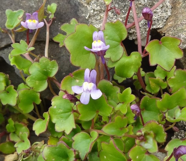 ivy leaved toadflax flowers