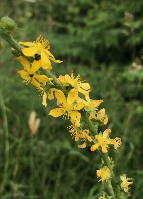 agrimony flowers
