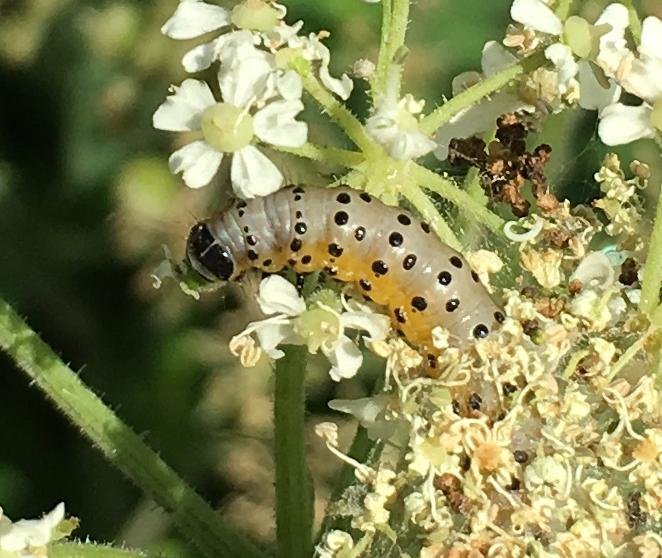 parsnip moth caterpillar