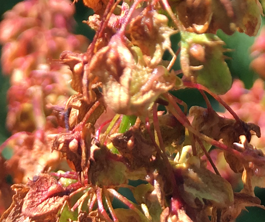broad-leaved dock fruits close up