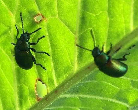 beetles3