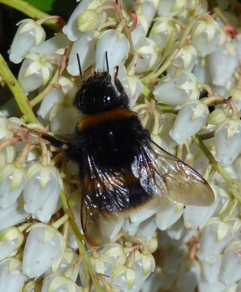 bumble bee, Bombus terrestris