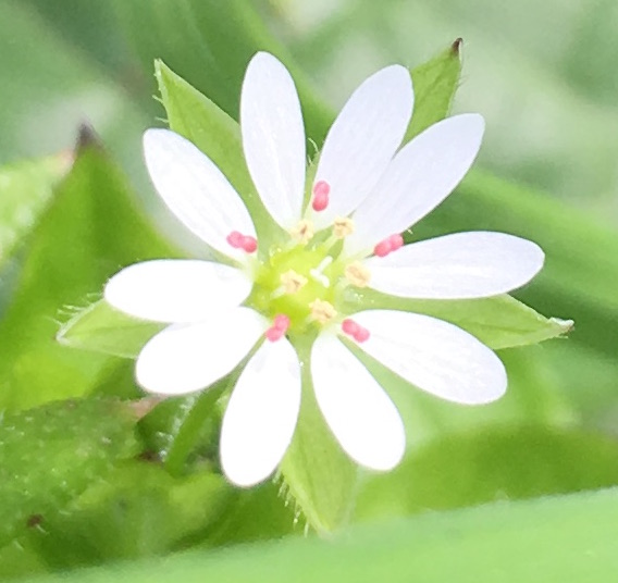 greater chickweed flower