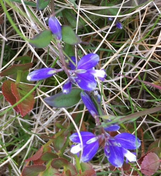 heath milkwort 4