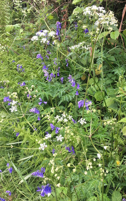 cow parsley with bluebells and stitchwort