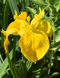 yellow iris