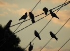 Galah on the wires