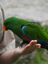 King Parrot (f)