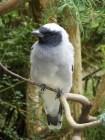 Black-faced Shrike