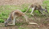 Kangaroo tails