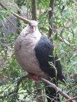 White-faced Pigeon