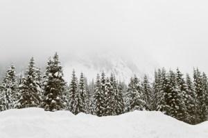 snow pine trees