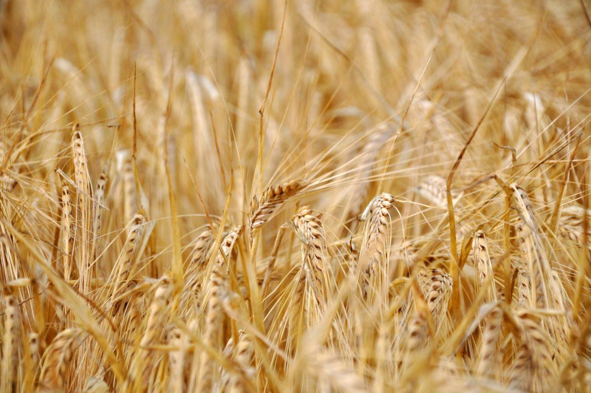 close up of sunlit barley field