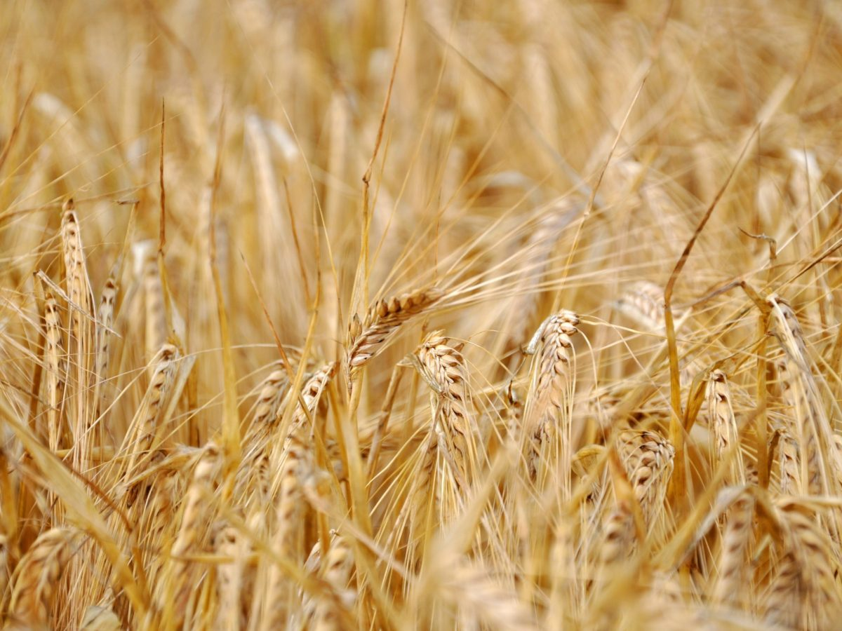 close up of sunlit barley field