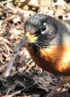 http://en.wikipedia.org/wiki/File:Robin_eating_a_worm_in_spring.jpg