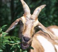 GoatEatingWeeds wikimedia public domain
