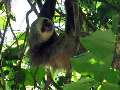 http://commons.wikimedia.org/wiki/File:Two-toed_sloth_Costa_Rica.jpg