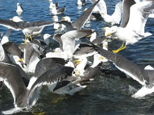 http://commons.wikimedia.org/wiki/File:Lesser_Black-backed_Gulls.jpg