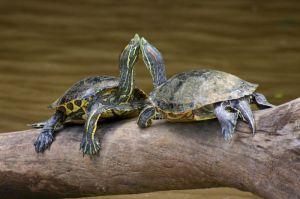 http://commons.wikimedia.org/wiki/File:Turtles_Costa_Rica.jpg