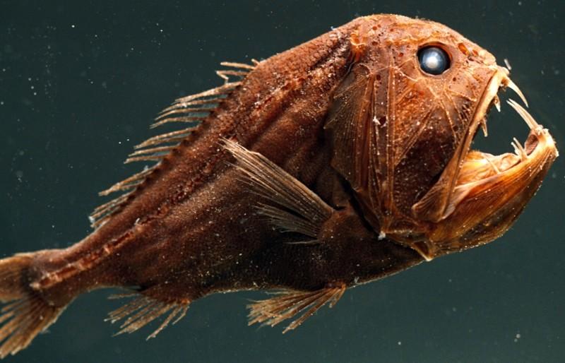 50 Jenis Ikan Laut Dalam Yang Aneh Menyeramkan Dan Langka