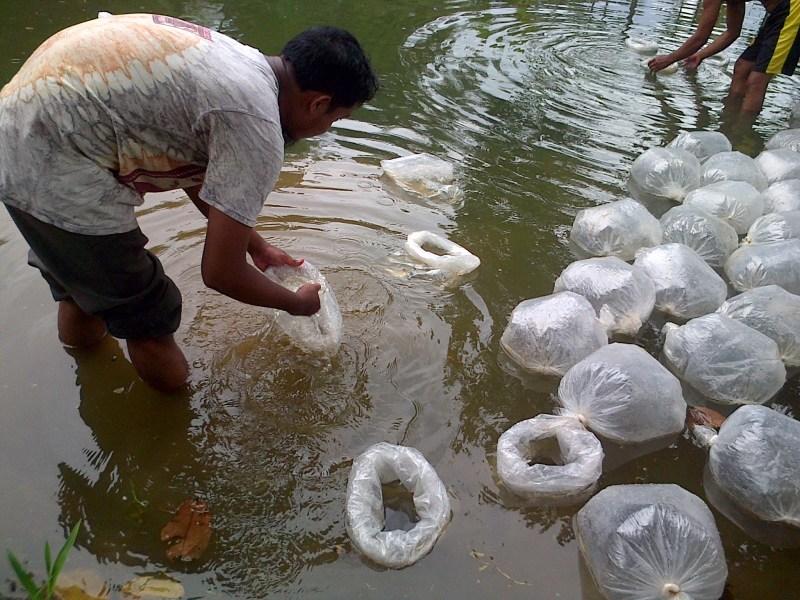 Budidaya Ikan Lele Sangkuriang di Kolam Tanah