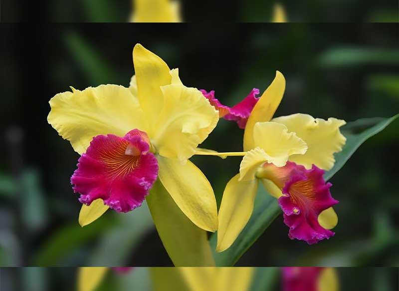35 Jenis Bunga Anggrek Indonesia Lengkap Dengan Gambar Dan Penjelasan
