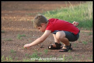 Catching ants to feed to the ant lions