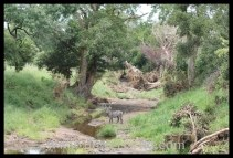 Waterbuck drinking from a small stream with dense riparian vegetation in the Kruger National Park