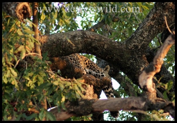 Leopard snoozing in a tree, in the Kruger National Park