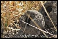 Dung beetle balls dug up by a ratel (honey badger)