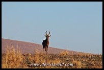 Red hartebeest in the game park at Midmar