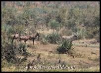 Roan and Tsessebe, Dokweni waterhole