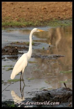 Great egret, Letaba