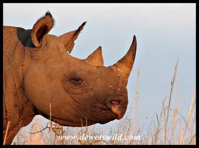 Black Rhino (2)