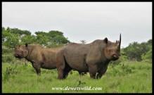 Black Rhino (5)