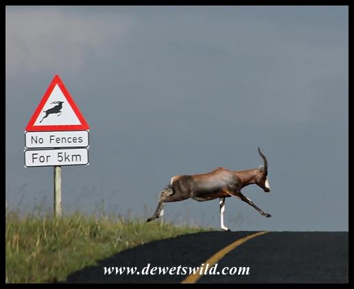 Blesbok crossing