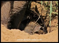 Tiny warthog in its den