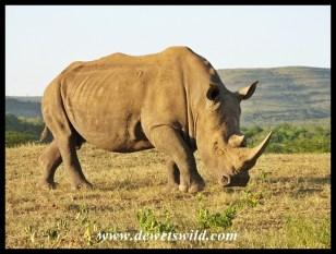 White Rhino (1)