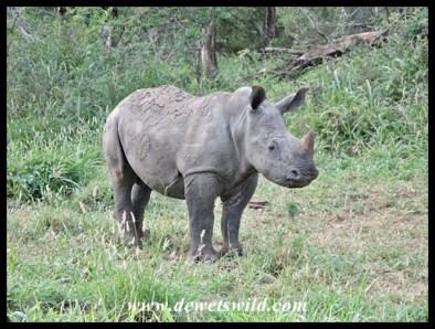 White Rhino (15)