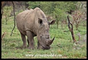 White Rhino (4)