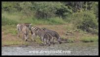 Plains zebra drinking from Nsemani Dam