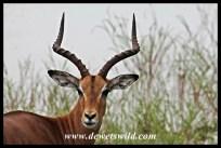 Impala at Girivana