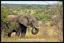 Elephant at Bobbejaankrans