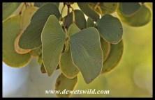 Butterfly-shaped mopane leaves