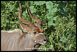 Nyala with muddy horns
